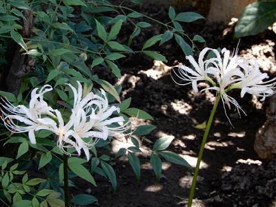 実践人の家 今、白い彼岸花が咲いています。_c0394693_13311698.jpg