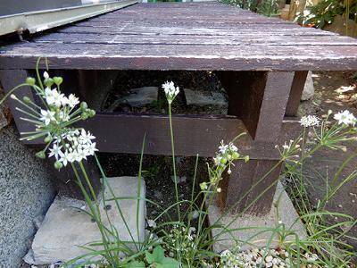 実践人の家 今、白い彼岸花が咲いています。_c0394693_13312396.jpg
