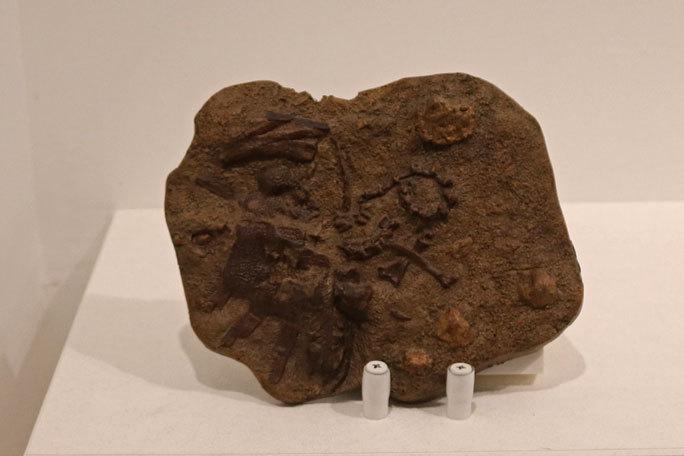 恐竜科学博:恐竜時代の最後を飾る恐竜たち~アンズ、モノニクス、アンキロサウルス等_b0355317_18211096.jpg