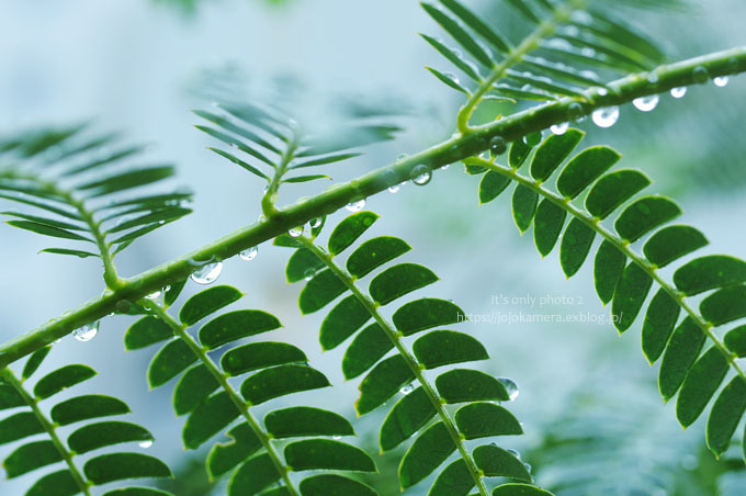 マクロde雫 -合歓の木*Ⅰ-_b0391986_00284804.jpg