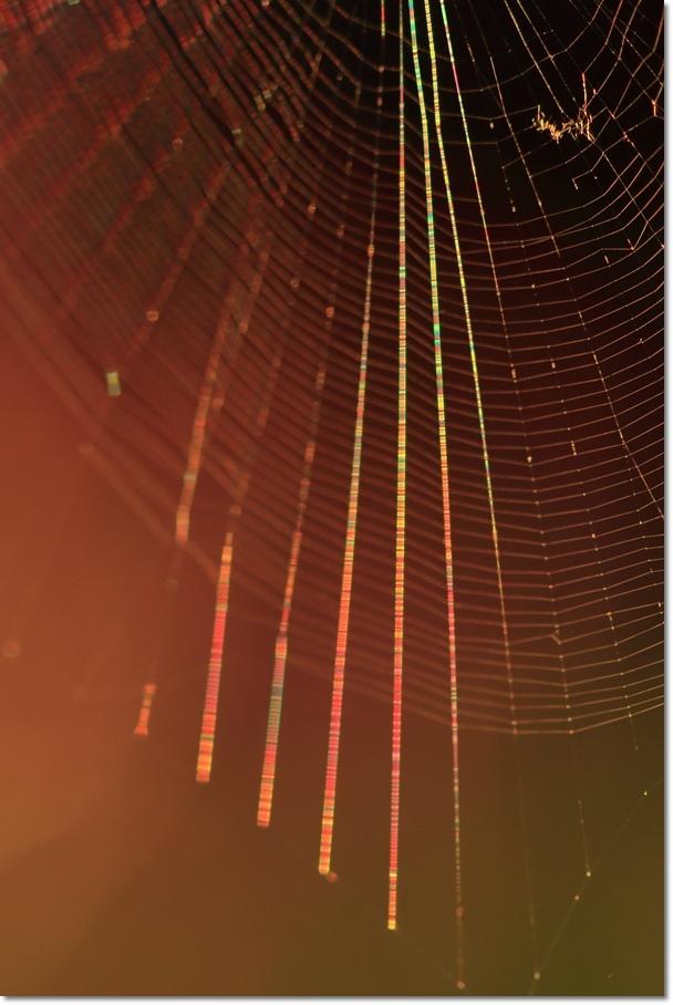 蜘蛛の糸に朝日_a0057905_14011949.jpg