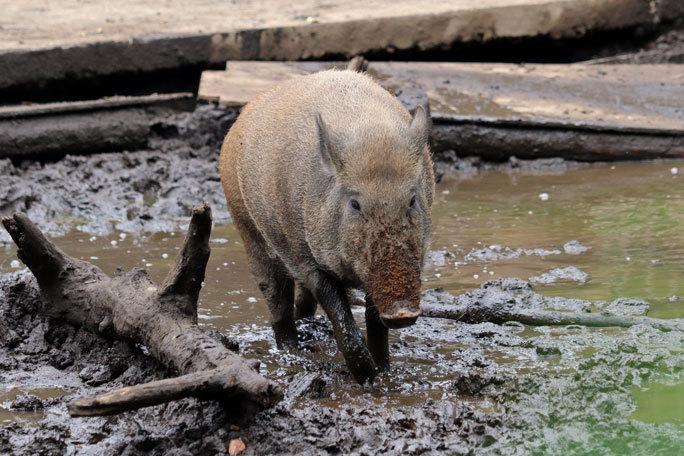 泥だらけのイノシシたち(井の頭自然文化園 July 2020)_b0355317_22060171.jpg
