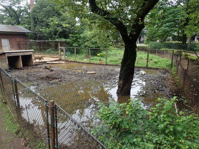泥だらけのイノシシたち(井の頭自然文化園 July 2020)_b0355317_22084710.jpg