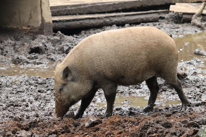 泥だらけのイノシシたち(井の頭自然文化園 July 2020)_b0355317_22104852.jpg
