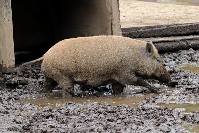 泥だらけのイノシシたち(井の頭自然文化園 July 2020)_b0355317_22112936.jpg