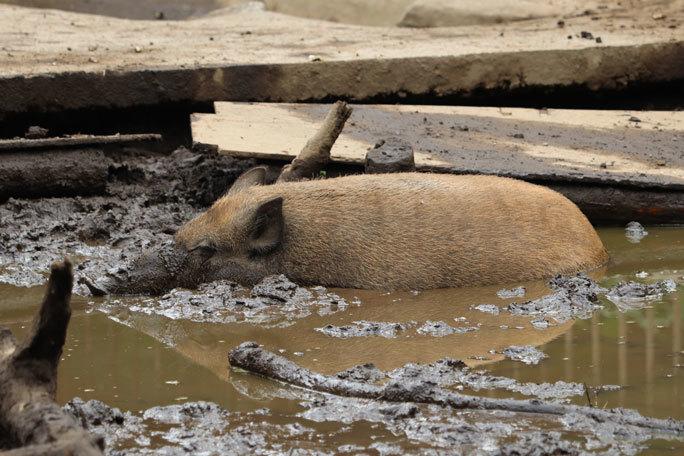 泥だらけのイノシシたち(井の頭自然文化園 July 2020)_b0355317_22144667.jpg