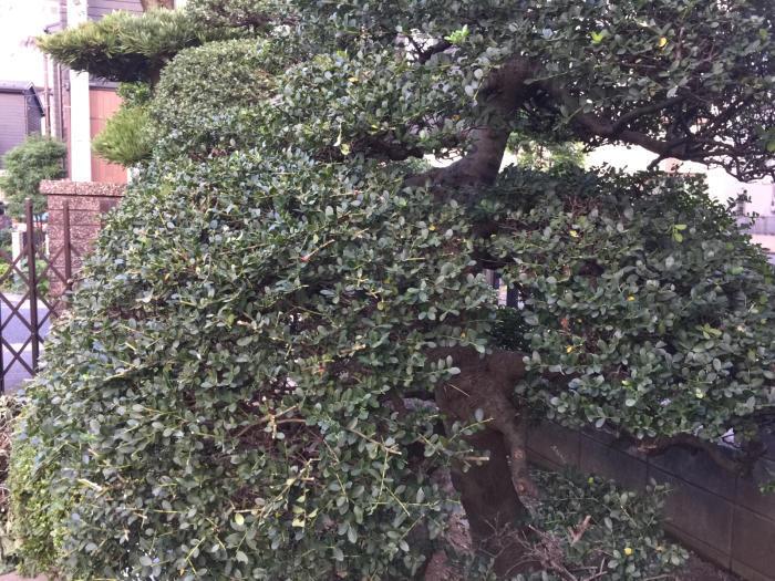昨日の植木の剪定したが最終の調整はして居ないので本日行いました。_f0122241_18582666.jpg