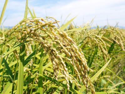 砂田米 花から頭を垂れ始めるまで!今年も順調に黄金色に色づき始めました! 令和3年度も減農薬栽培です!_a0254656_19152650.jpg