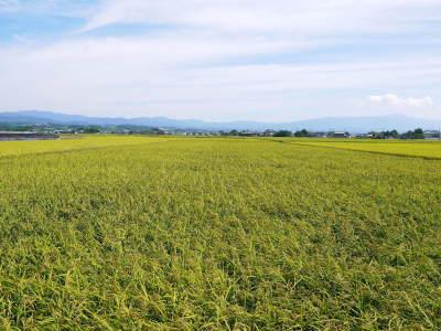 砂田米 花から頭を垂れ始めるまで!今年も順調に黄金色に色づき始めました! 令和3年度も減農薬栽培です!_a0254656_19181397.jpg