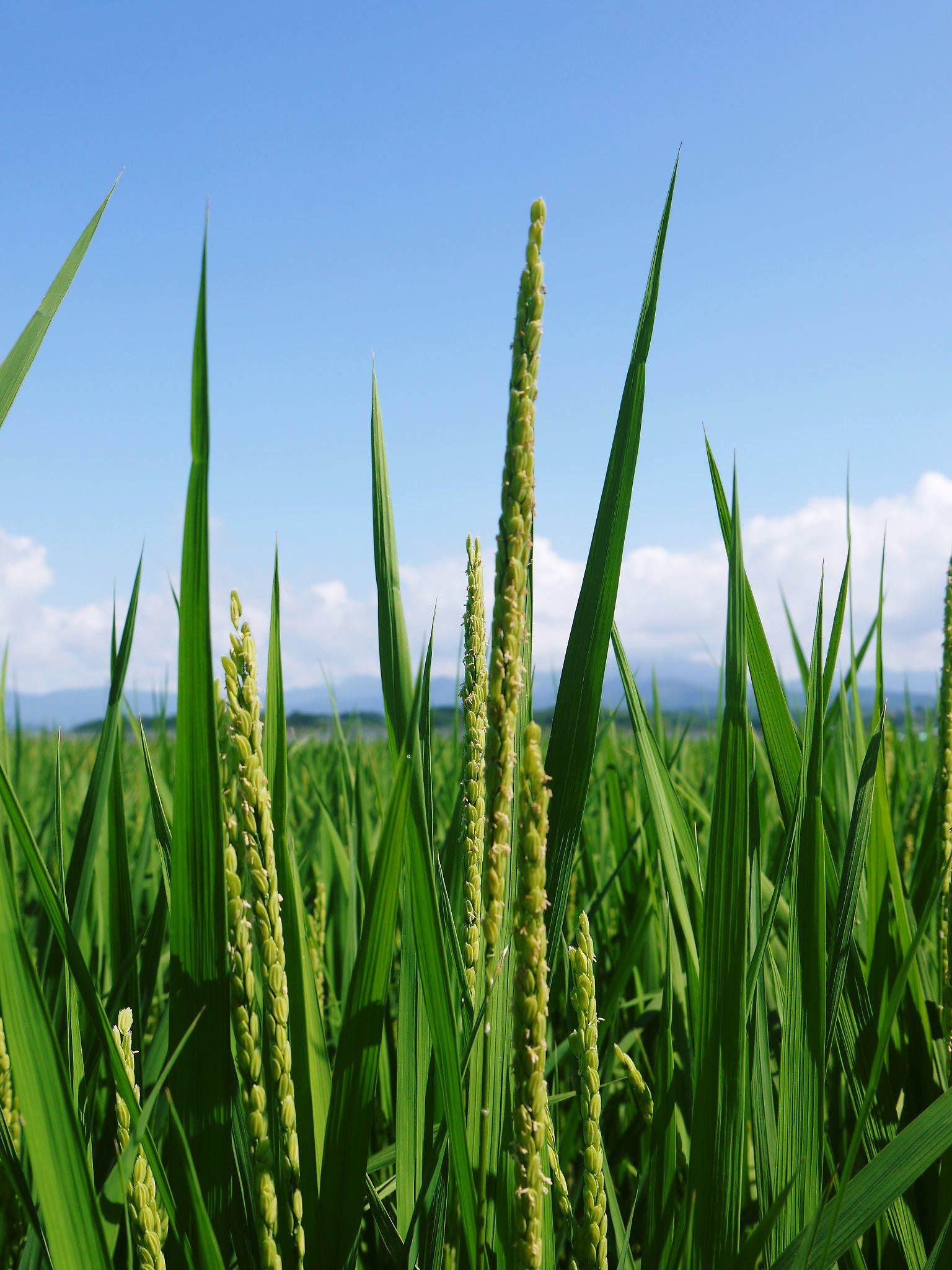 砂田米 花から頭を垂れ始めるまで!今年も順調に黄金色に色づき始めました! 令和3年度も減農薬栽培です!_a0254656_19271031.jpg