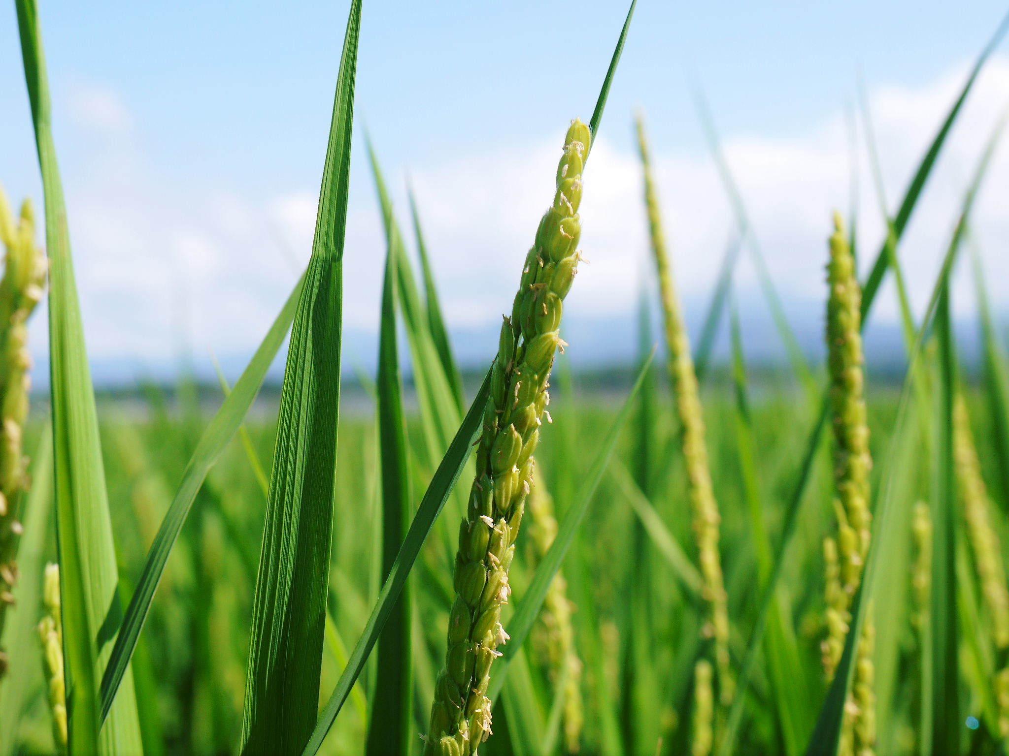 砂田米 花から頭を垂れ始めるまで!今年も順調に黄金色に色づき始めました! 令和3年度も減農薬栽培です!_a0254656_19275923.jpg