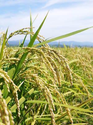 砂田米 花から頭を垂れ始めるまで!今年も順調に黄金色に色づき始めました! 令和3年度も減農薬栽培です!_a0254656_19421086.jpg
