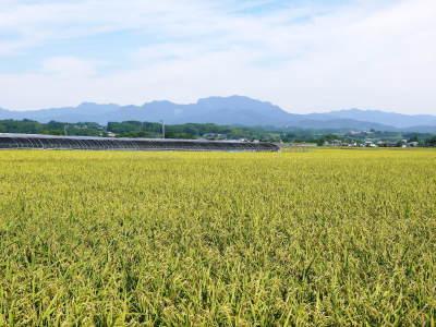 砂田米 花から頭を垂れ始めるまで!今年も順調に黄金色に色づき始めました! 令和3年度も減農薬栽培です!_a0254656_19542159.jpg