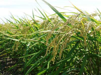 砂田米 花から頭を垂れ始めるまで!今年も順調に黄金色に色づき始めました! 令和3年度も減農薬栽培です!_a0254656_19562143.jpg