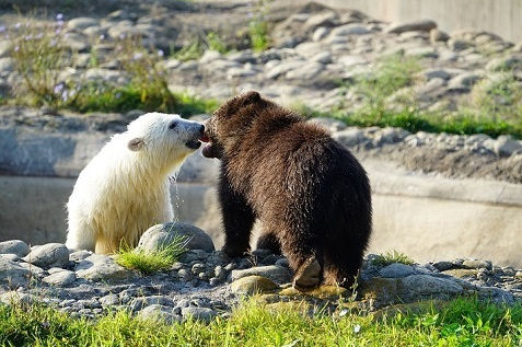 アメリカ・デトロイト動物園で人工哺育されているレアク (Laerke) がグリズリーの孤児ジェビー (Jebbie) と友達となる_a0151913_17173240.jpg