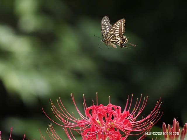 ヒガンバナで吸蜜するアゲハたち_b0107948_10001037.jpg