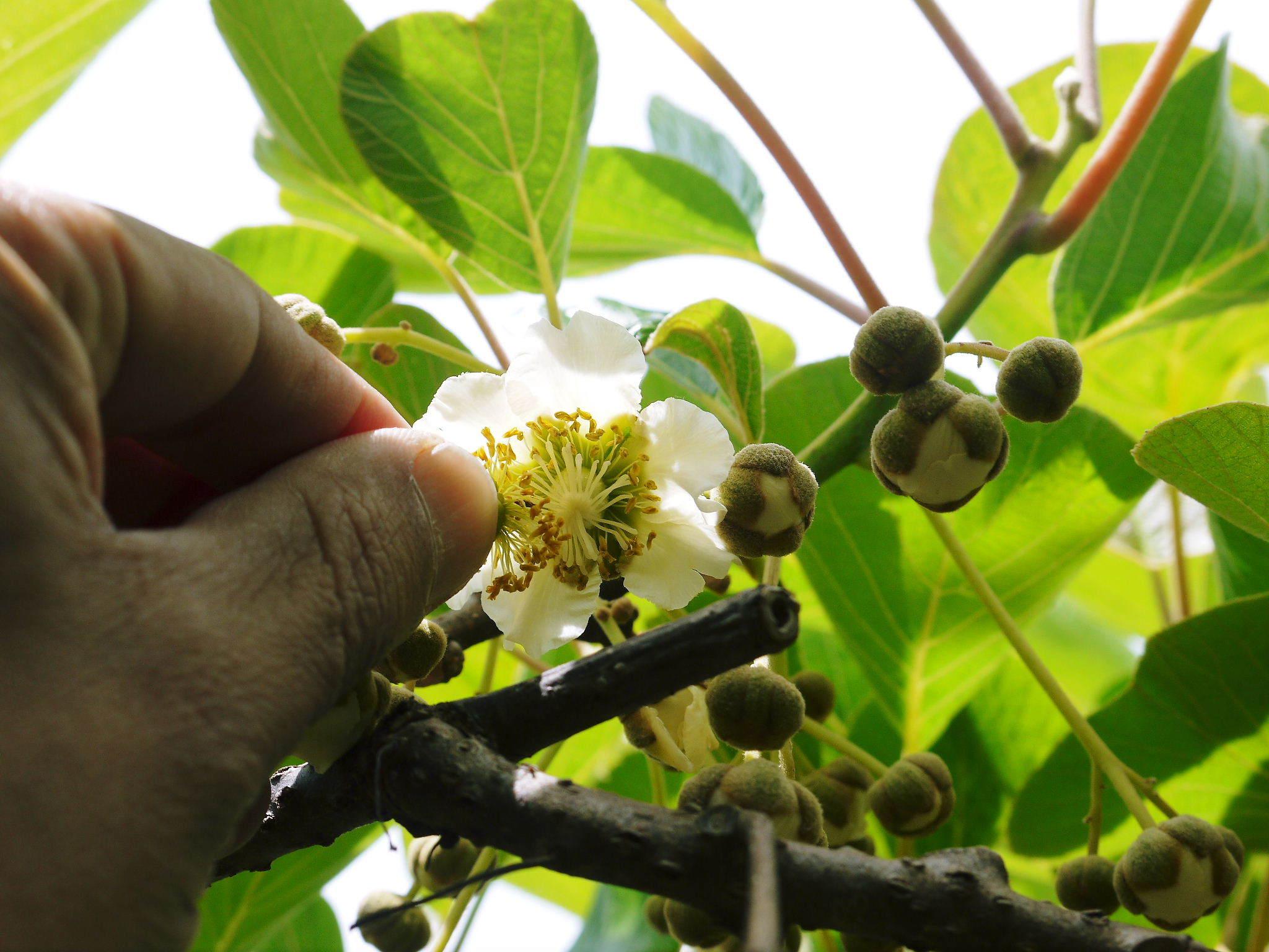 水源キウイ 令和3年の収穫は例年より少し早く11月上旬からの予定!今年も完全無農薬・無化学肥料栽培です_a0254656_19013263.jpg