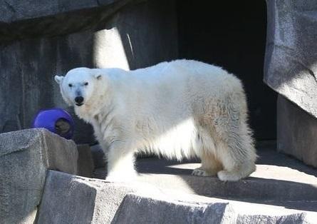 アメリカ・ミルウォーキー動物園の36歳のスノウリリー (Snow Lilly) が亡くなる ~ 全米最高齢のホッキョクグマの死_a0151913_01415381.jpg
