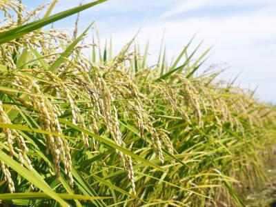 七城米 長尾農園 令和3年も美しすぎる田んぼで稲穂が頭を垂れ始めました!稲刈りは10月中旬です! _a0254656_17463637.jpg