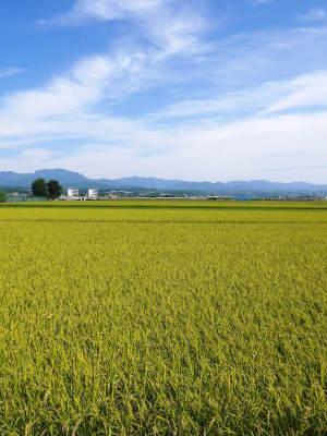 七城米 長尾農園 令和3年も美しすぎる田んぼで稲穂が頭を垂れ始めました!稲刈りは10月中旬です! _a0254656_17514129.jpg