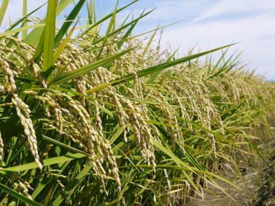 七城米 長尾農園 令和3年も美しすぎる田んぼで稲穂が頭を垂れ始めました!稲刈りは10月中旬です! _a0254656_17583077.jpg