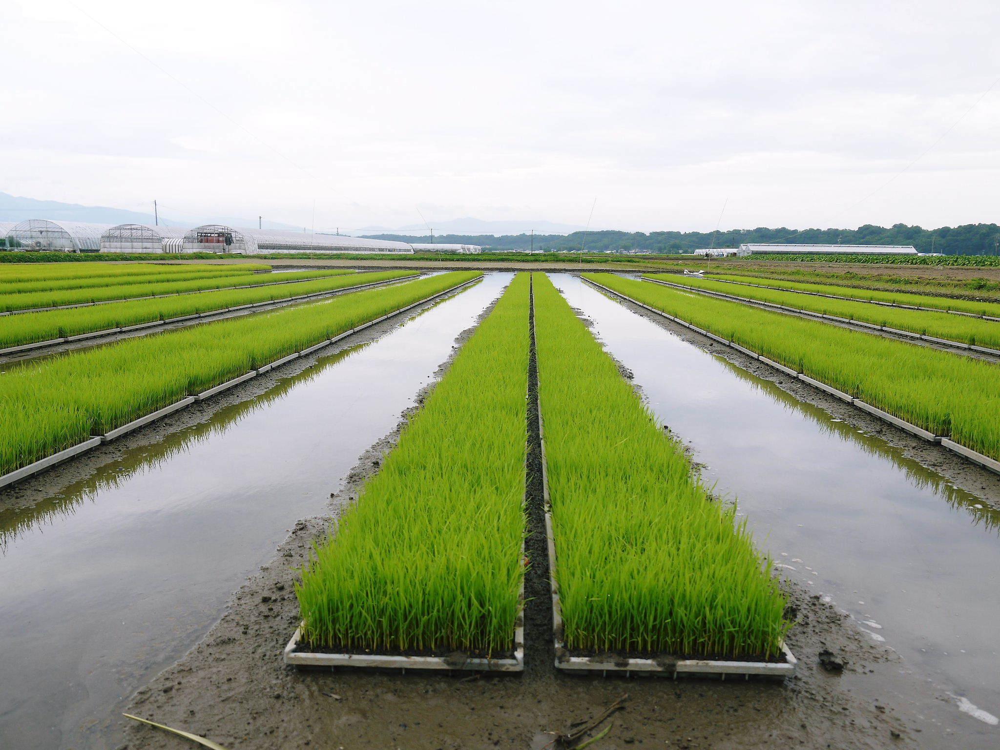 七城米 長尾農園 令和3年も美しすぎる田んぼで稲穂が頭を垂れ始めました!稲刈りは10月中旬です! _a0254656_18165420.jpg