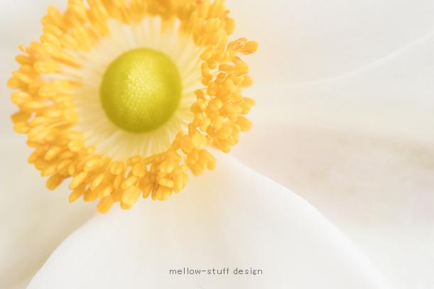 白い秋明菊_d0124248_16342163.jpg