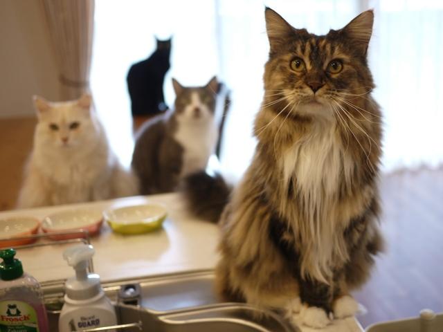 猫のお留守番 天ちゃん麦くん茶くん〇くんAoiちゃん編。_a0143140_20513183.jpg