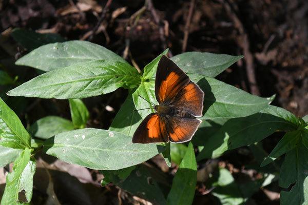 彼岸花に集まる蝶(2021年9月下旬)_c0049095_23560644.jpg