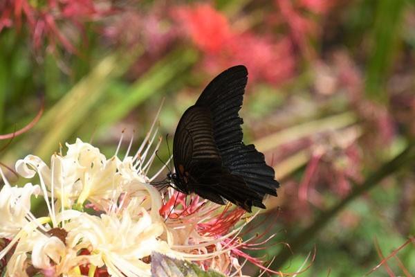 彼岸花に集まる蝶(2021年9月下旬)_c0049095_23572461.jpg