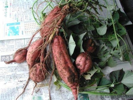 安納芋クラスの甘くて旨くてシャレにならない、焼酎の原料であるサツマイモ「蔓無源氏」〆切まであと1週間です。_d0367608_09531137.jpg