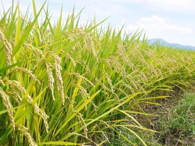 菊池水源棚田米 今年も順調に実っています。まもなく令和3年度の稲刈りです!水にこだわる匠のお米!! _a0254656_18353858.jpg