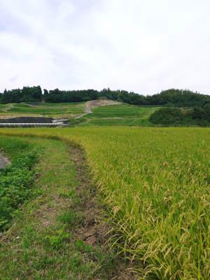 菊池水源棚田米 今年も順調に実っています。まもなく令和3年度の稲刈りです!水にこだわる匠のお米!! _a0254656_18385618.jpg