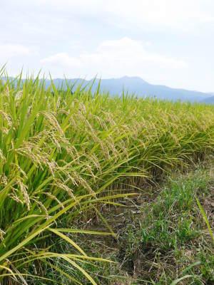 菊池水源棚田米 今年も順調に実っています。まもなく令和3年度の稲刈りです!水にこだわる匠のお米!! _a0254656_18451535.jpg