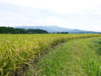 菊池水源棚田米 今年も順調に実っています。まもなく令和3年度の稲刈りです!水にこだわる匠のお米!! _a0254656_18460831.jpg
