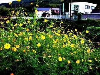黄色いコスモス、色合いの違いを愛でる_e0175370_11032261.jpg