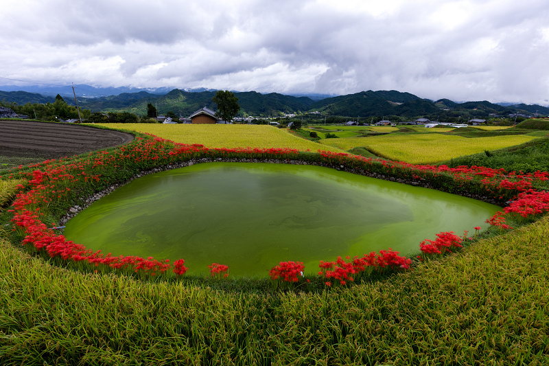 2021彼岸花の咲く風景 伏見のため池_f0155048_20145621.jpg