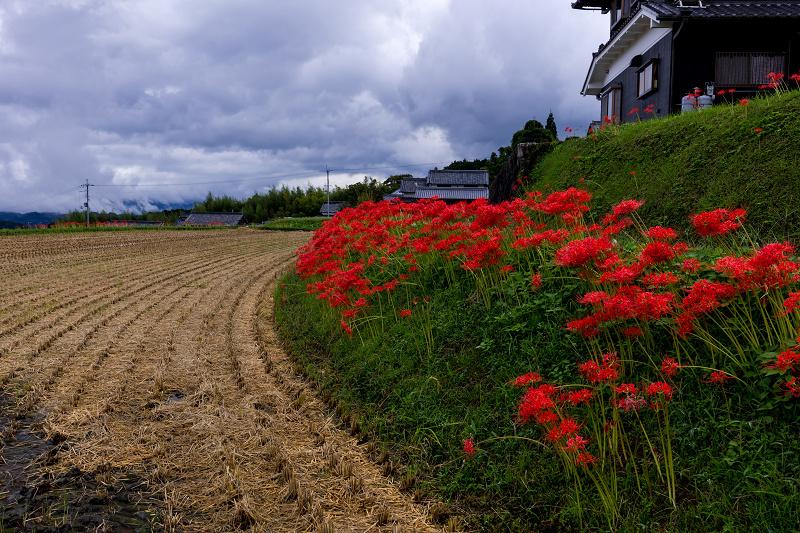 2021彼岸花の咲く風景 伏見のため池_f0155048_20151316.jpg
