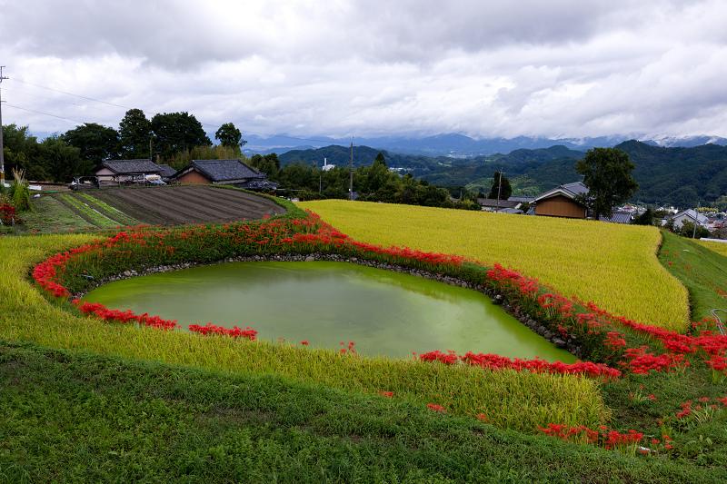 2021彼岸花の咲く風景 伏見のため池_f0155048_20152426.jpg