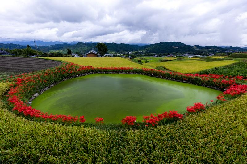 2021彼岸花の咲く風景 伏見のため池_f0155048_20153958.jpg