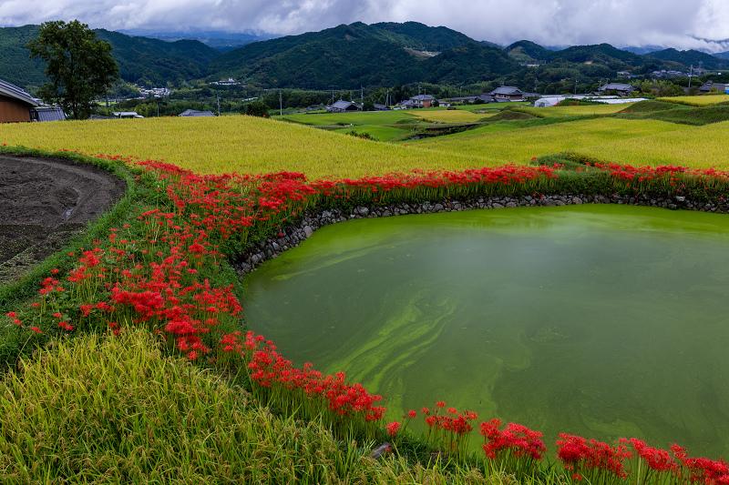 2021彼岸花の咲く風景 伏見のため池_f0155048_20154788.jpg