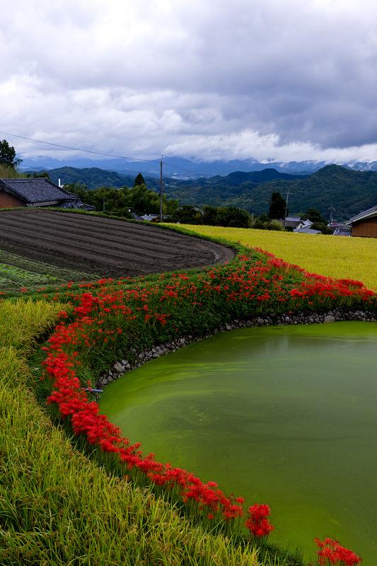 2021彼岸花の咲く風景 伏見のため池_f0155048_20160781.jpg