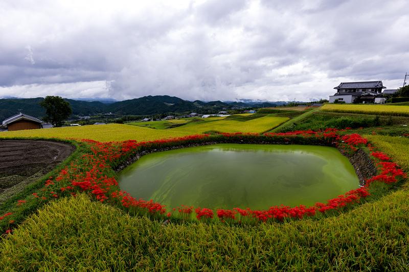 2021彼岸花の咲く風景 伏見のため池_f0155048_20163071.jpg