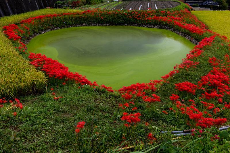 2021彼岸花の咲く風景 伏見のため池_f0155048_20163887.jpg