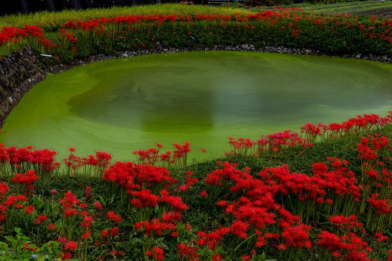 2021彼岸花の咲く風景 伏見のため池_f0155048_20170843.jpg