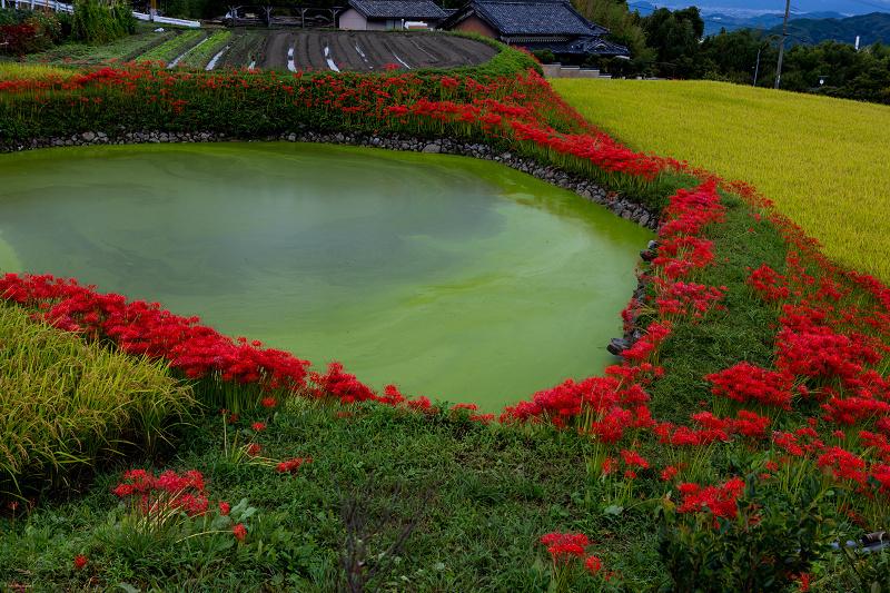 2021彼岸花の咲く風景 伏見のため池_f0155048_20172564.jpg