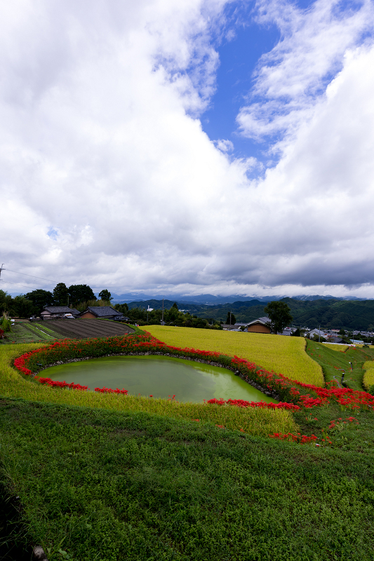 2021彼岸花の咲く風景 伏見のため池_f0155048_20175472.jpg
