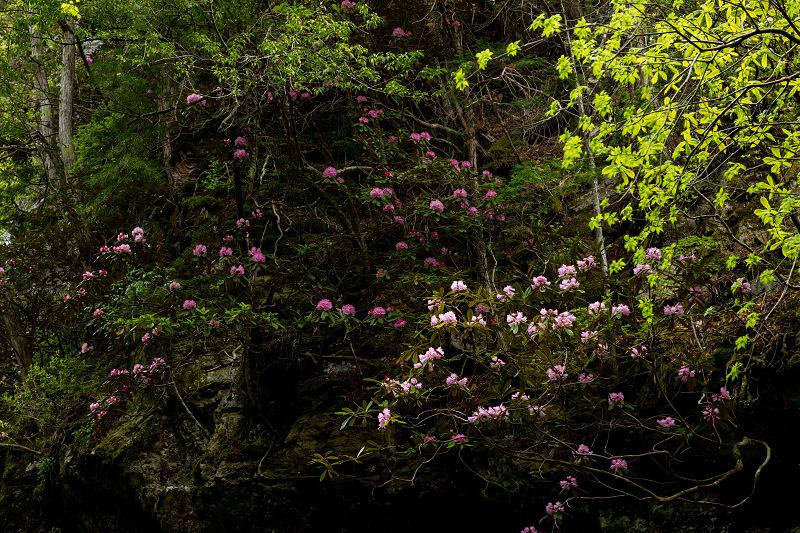 石楠花咲く御船の滝_f0155048_21215946.jpg