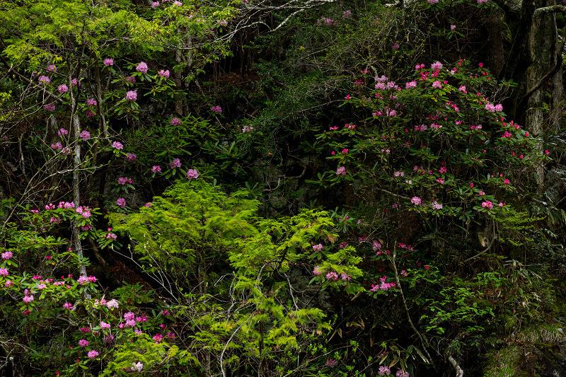 石楠花咲く御船の滝_f0155048_21232850.jpg