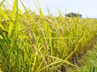 健康農園さんの無農薬栽培『雑穀米』『発芽玄米』大好評販売中!令和3年度の稲刈りはまもなくです!_a0254656_18520812.jpg
